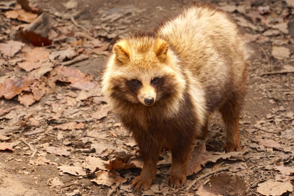 Image of a racoon dog